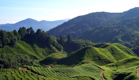 Tea_fields_(Will_Ellis)