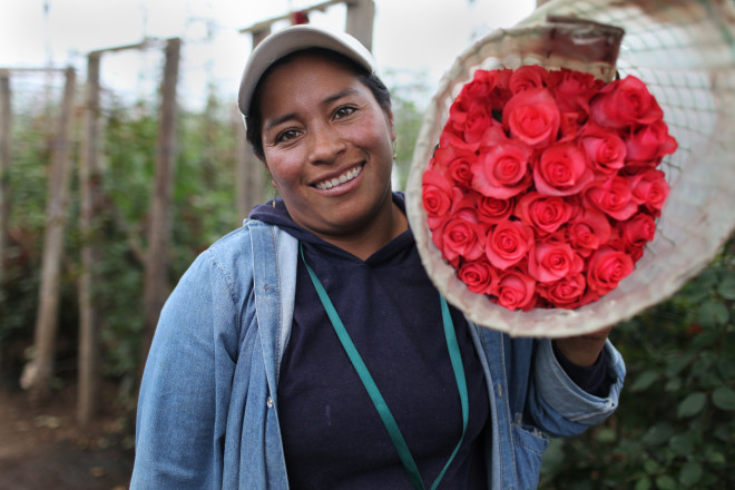 Elvia Almachi, 32, from Guaytacama, holds a bundle of recently harvested Fair Trade-certified roses