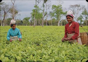 Numi Tea works  to  empower tea producing communities