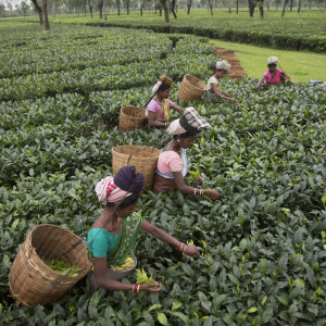 Workers picking organic tea at the Maud Tea Estate, Chabua, District Tinsukia, Assam, India. May 2, 2013